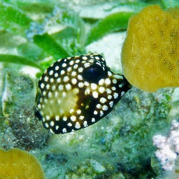Immature trunkfish