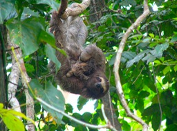 Brown-throated three-toed sloth & newborn