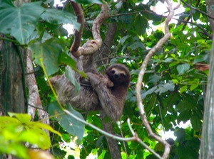 Three-toed sloth & newborn