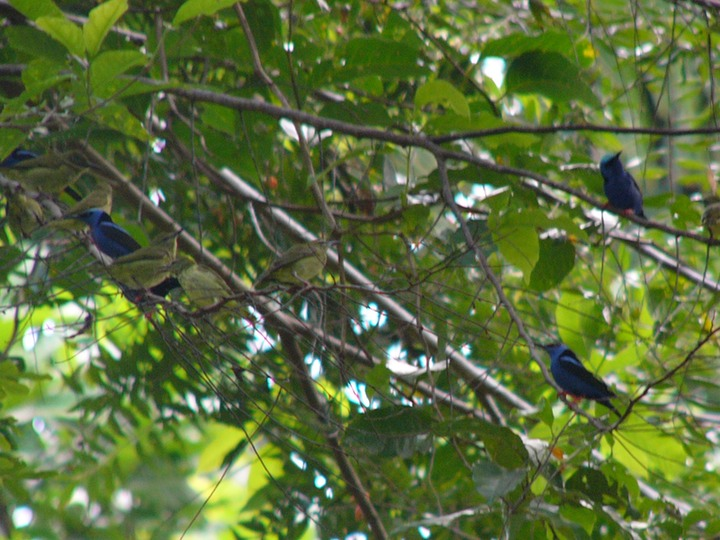 Flock of red-legged honeycreepers